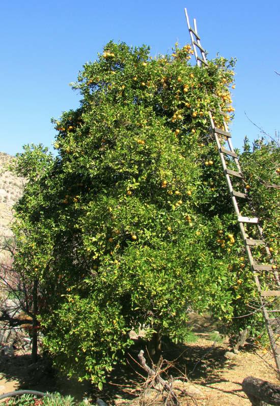 arbol naranja del oasis