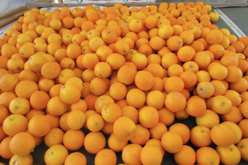 frutos naranja del oasis