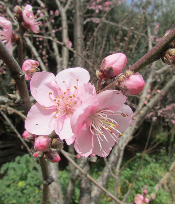 flor nectarin