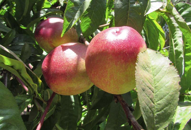 fruto nectarin