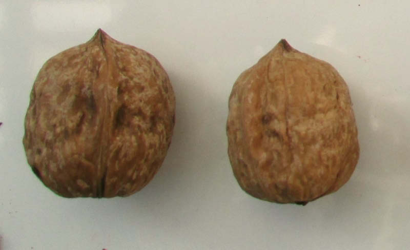 semilla nuez criolla