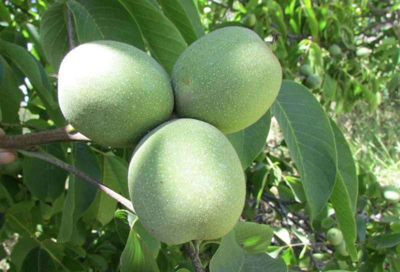 fruto nuez criolla