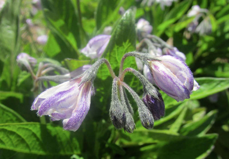 flor pepino dulce