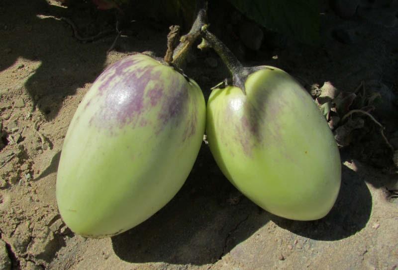 fruto pepino dulce