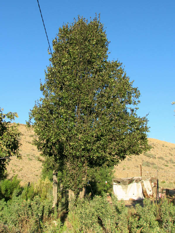 arbol pera armenia peral