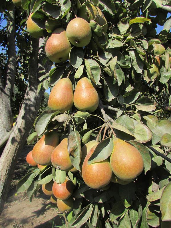 pera cognac peral frutos
