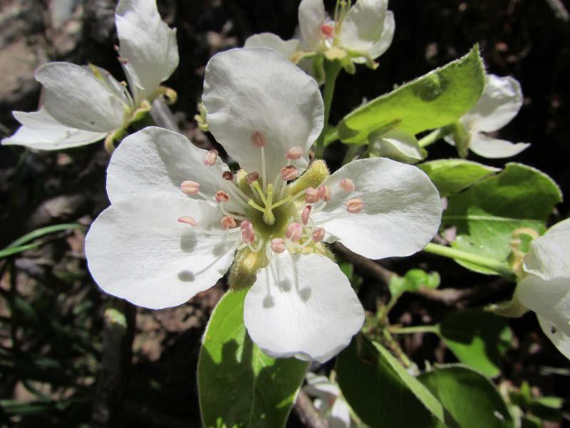 flor pera manzana
