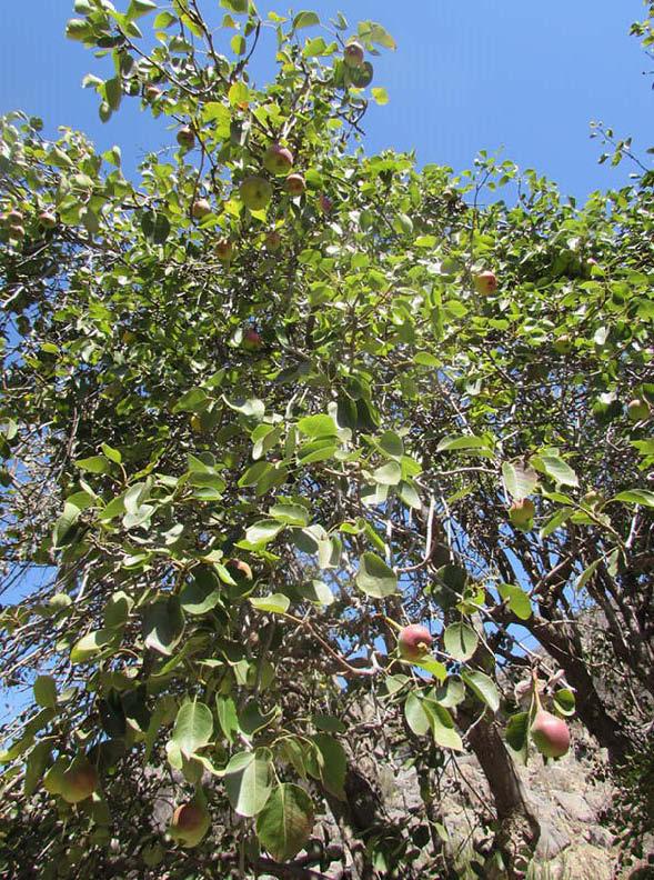 arbol pera membrillo peral