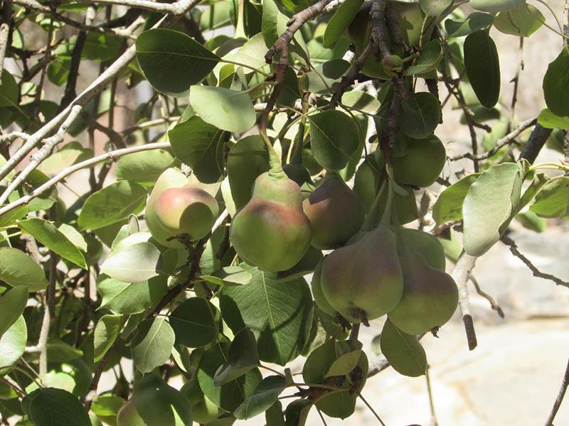 frutos pera membrillo