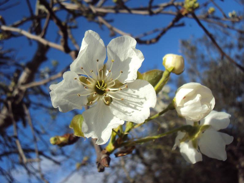 flor pera membrillo