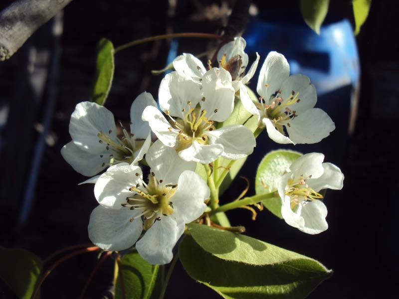 pera de pascua flor inflorescencia