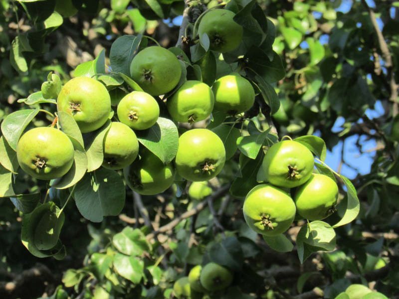 carga frutal pera totoralina