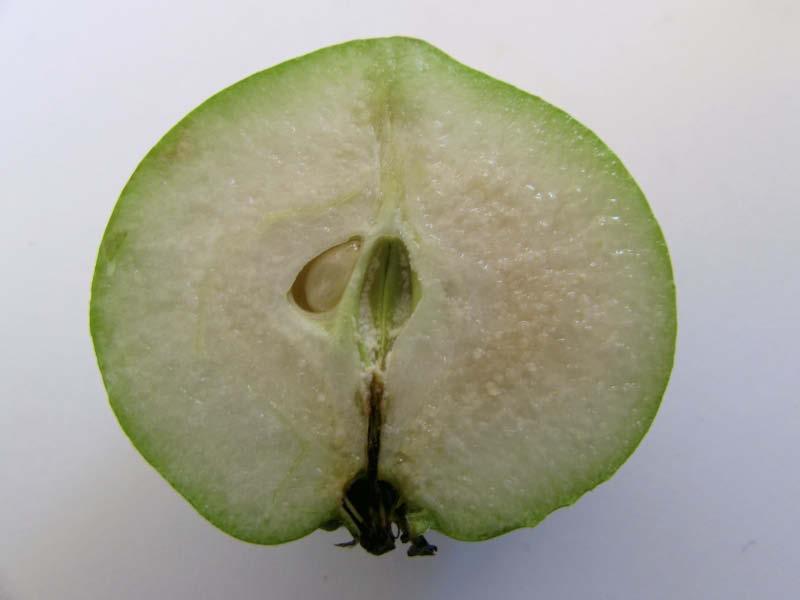 fruto pera totoralina