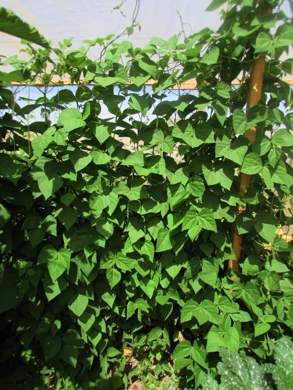 planta poroto cabrito oscuro