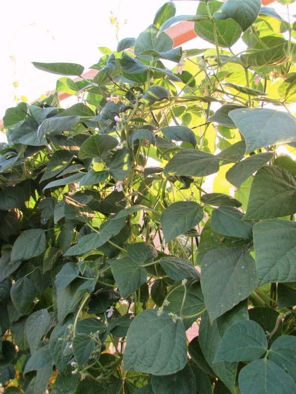 planta poroto chiquillano
