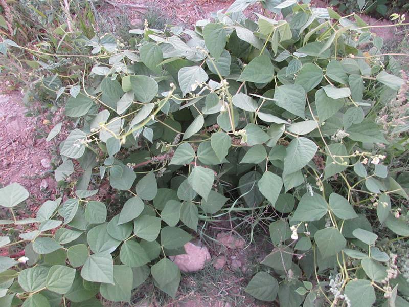 planta poroto morado
