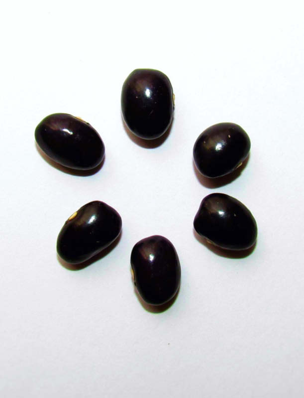 semilla poroto morado