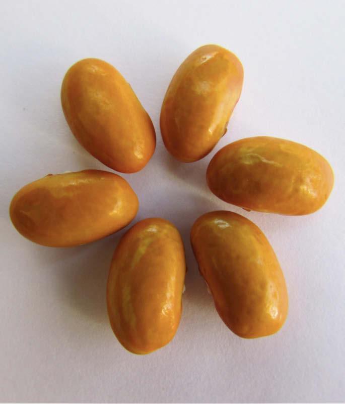 semilla poroto naranjo