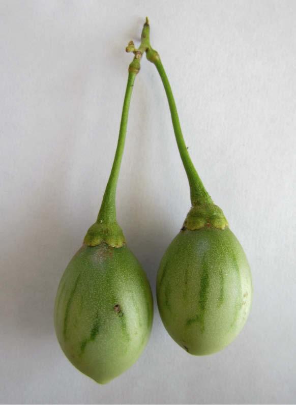 fruto tomate de arbol