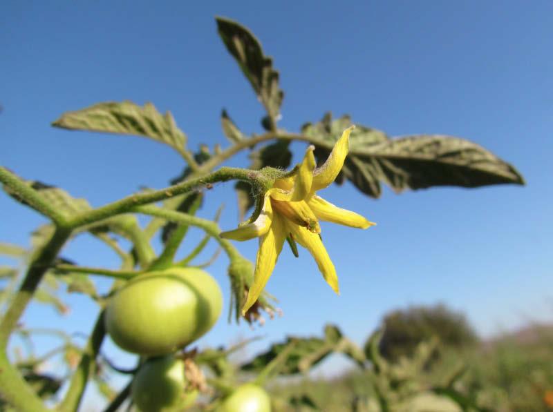 flor tomate lira