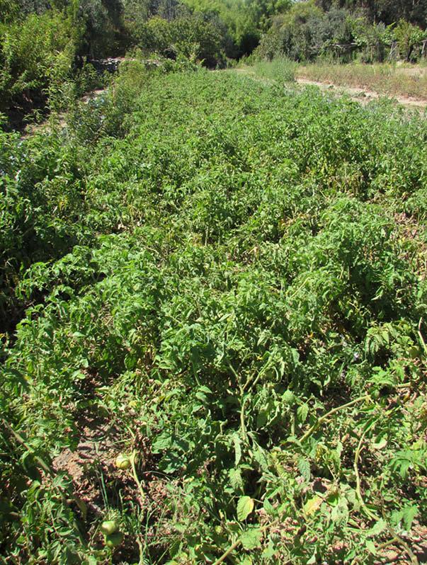 cultivo tomate rosado