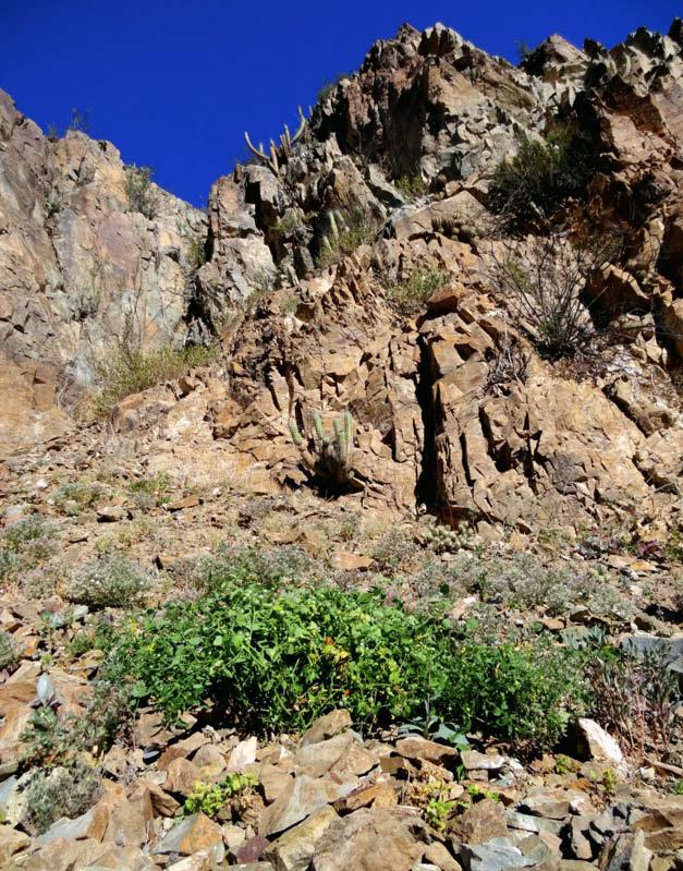 planta tomate tenca desierto
