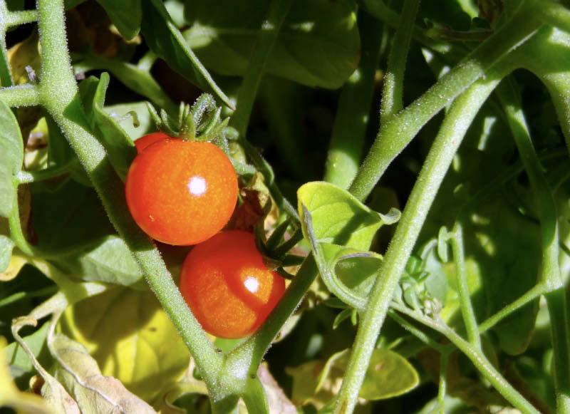 fruto tomate tenca
