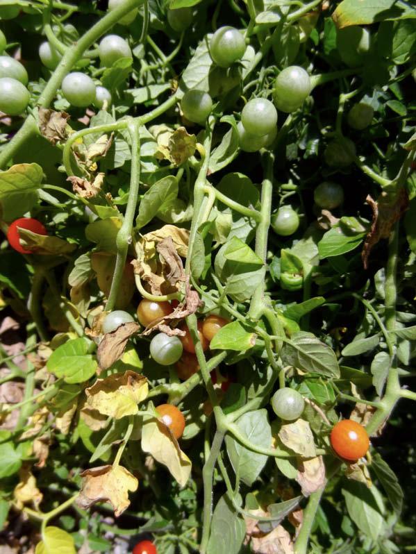 frutos tomate tenca
