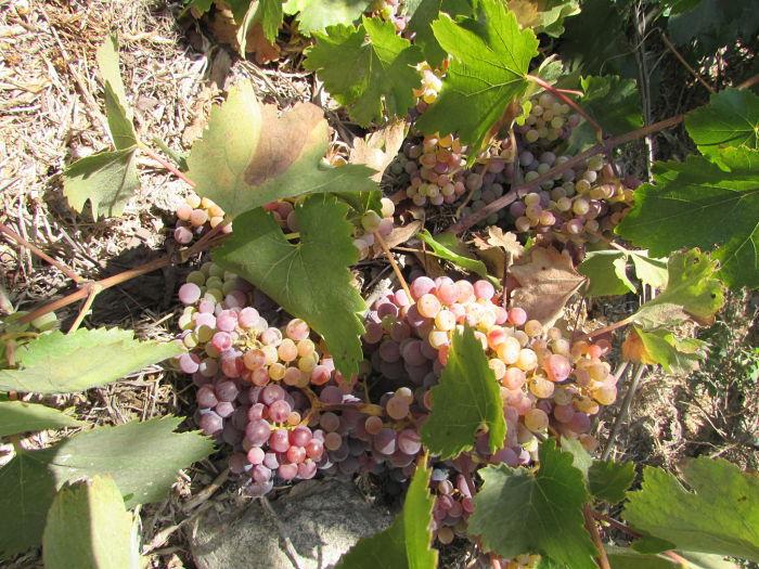 facundo araya uva rosada