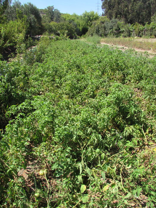 facundo araya tomate rosado cultivo