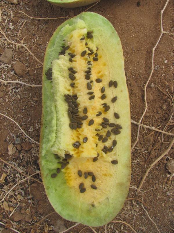 fruto sandilleja