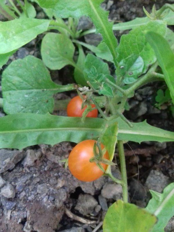 tomate tenca fruto